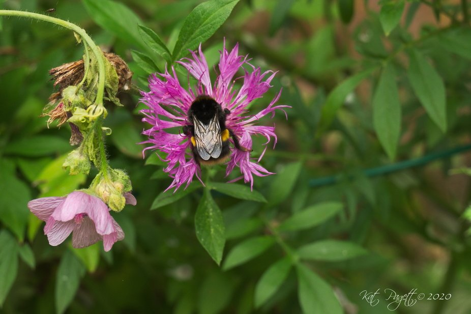 There was a stiff breeze that afternoon and this poor Bumble Bee looked like he was holding on fo...