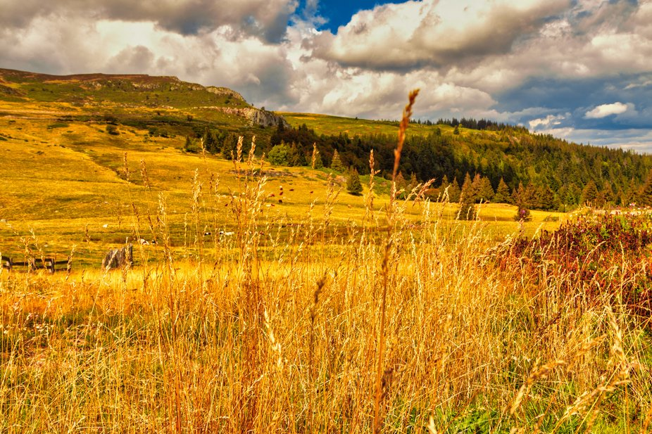 Autumn is coming, the mountain is covered with gold and copper, the cows enjoy the last days of sunshine.
