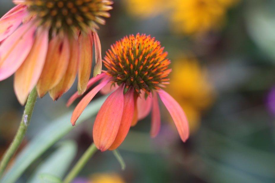 Coneflower at Pritchard Community Center botanical garden.