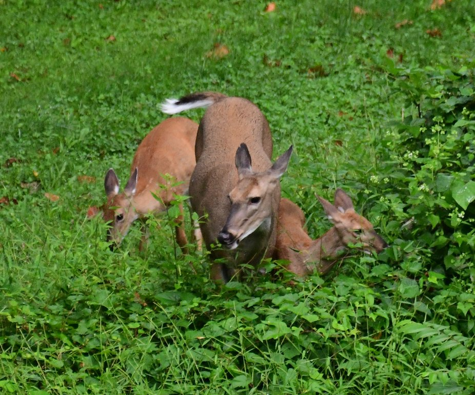 White tail deer and fawns