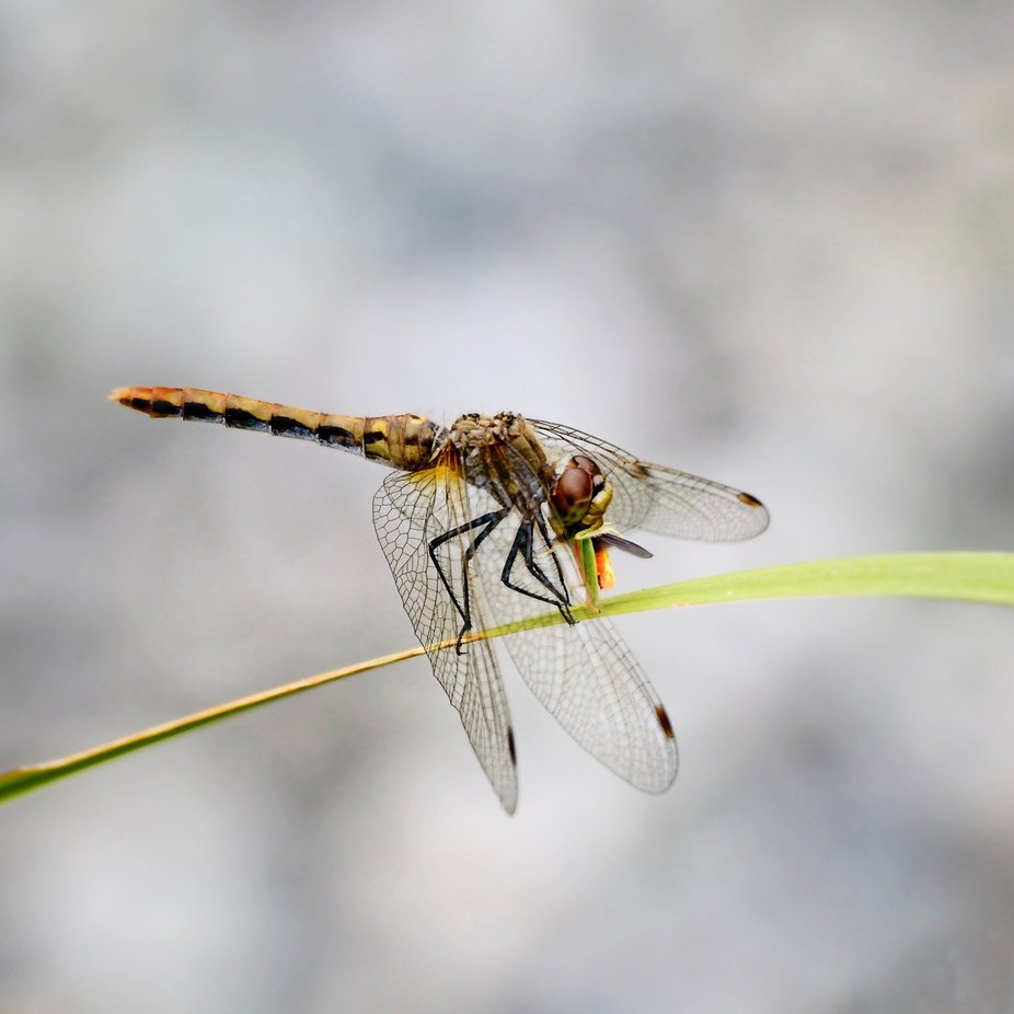 A dragonfly eating another bug on the leaf of an Iris plant.