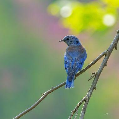 Western Bluebird DSC00483