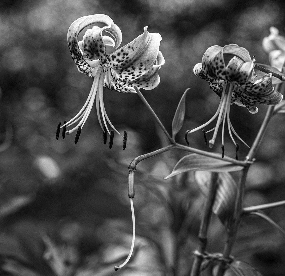 B/W Turks Hat Lilies