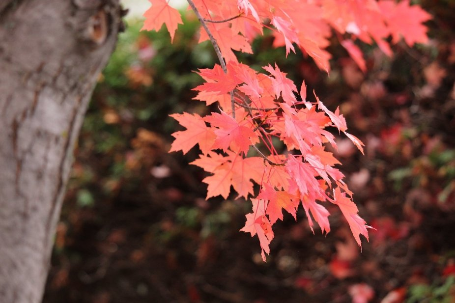 THE LEAVES ARE IN BLOOM WITH THEIR VIBRANT COLORS, AUTUMN HAS ARRIVED.
