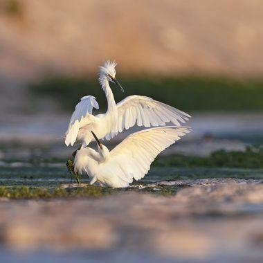 Snowy Egret Fighting DSC01320
