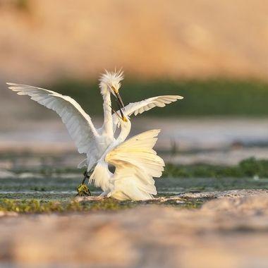 Snowy Egret Fighting DSC01350