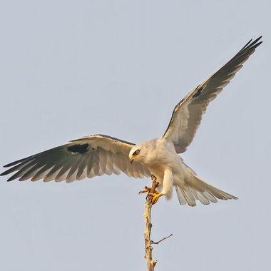 White-tailed Kite DSC00282-1