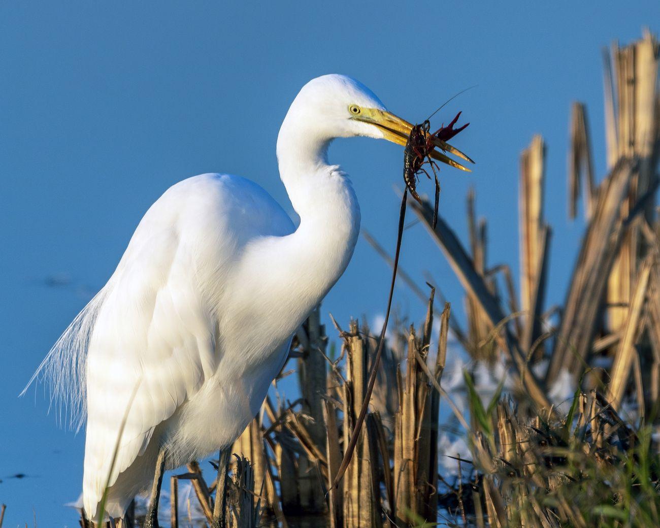 Great Egret feeding time at the Woodruff Silos in Yuba City California