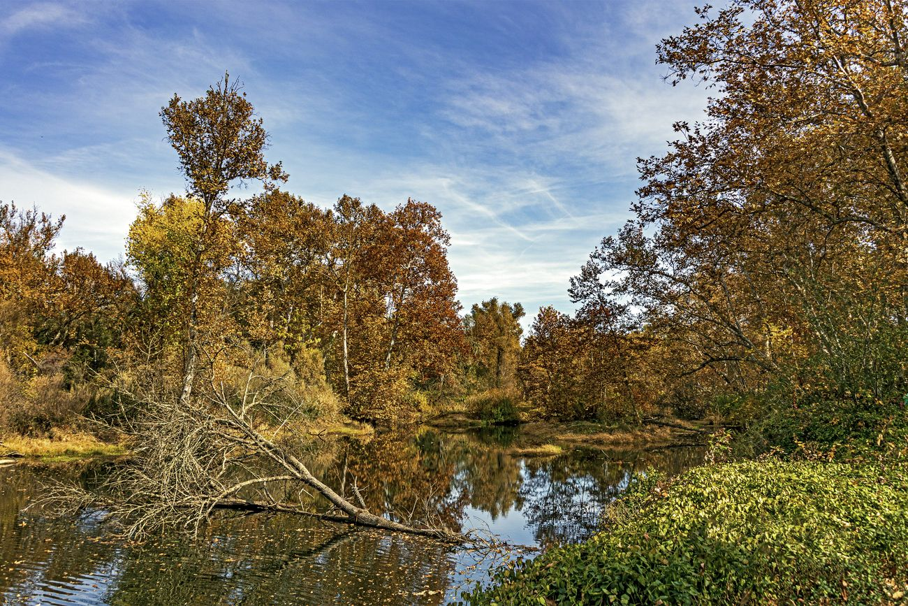The leaves & trees are falling on the Yuba River at Hammon Grove Park in Browns Valley California