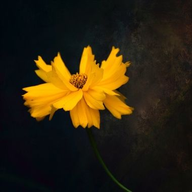 Sunshine Gold...