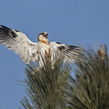 """White-tailed Kite fledgling, """"Mom and Dad, I made it to the tree top!"""""""