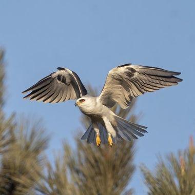 White-tailed Kite DSC00823