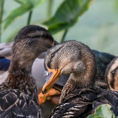 A gaggle of young Mallards.