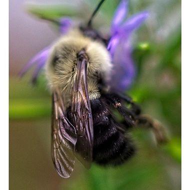 Bees Wings