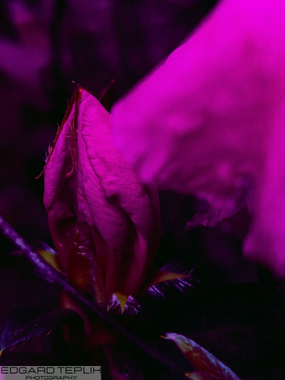 A beautiful lilac-colored bud with an open petal in the same shade. Dark background.