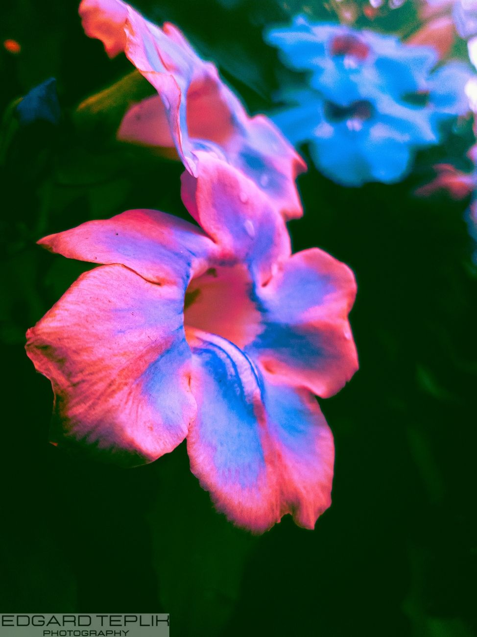 Highlighted a beautiful flower, in blue and roseadi tones, with a burst background