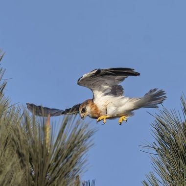 White-tailed Kite fledgling's first flight