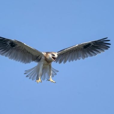 White-tailed Kite fledgling's flight within the first 24 hours.
