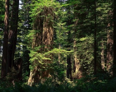 Redwood Paradise 2013