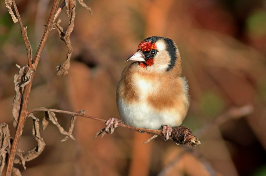 Seedheads are a popular delicacy for a Goldfinch