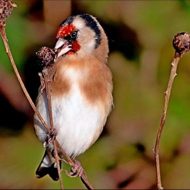 Goldfinch feeding from ripe seeds