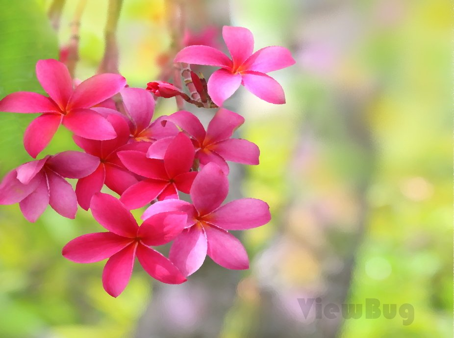 Pink Plumeria from Paradise