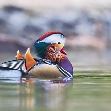 Mandarin Duck male DSC02081