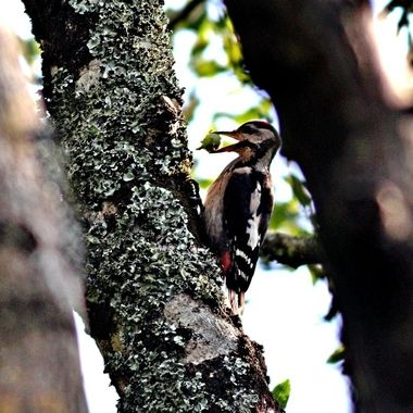 Great Spotted Woodpecker, trying to break open a Hazel Nut against the tree trunk.