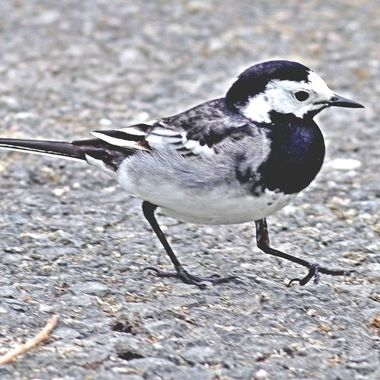 Pied Wagtail, they are almost as agile on the feet as on the wing!