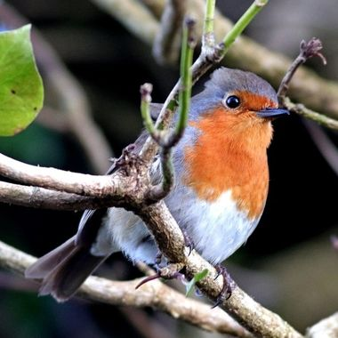 European Robin or Robin Redbreast