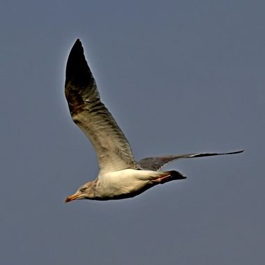 Herring Gull soaring high