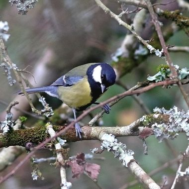 Great Tit bird looking for food among the tree branches