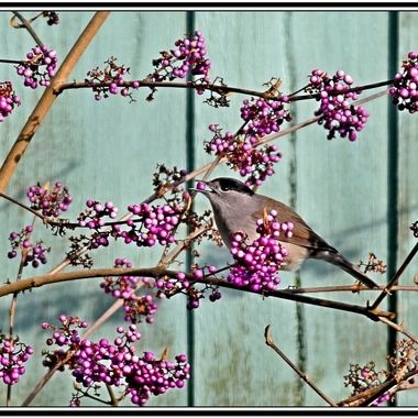Blackcap feeding on a Beauty Berry bush