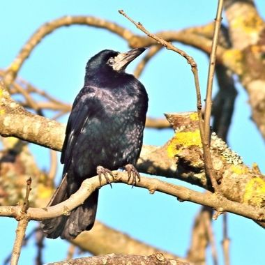 Rook, Corvus frugilegus, resting on a branch, looking for food