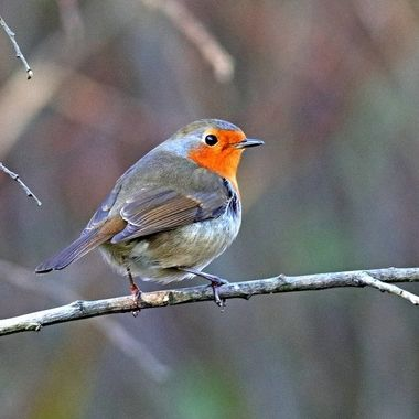 Robin Redbreast, or European Robin resting on a bush branch