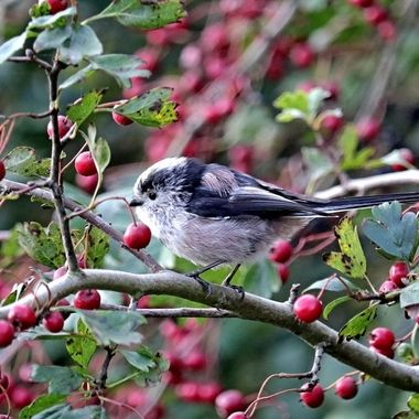 Long-Tailed Tit among the Rowan Tree berries