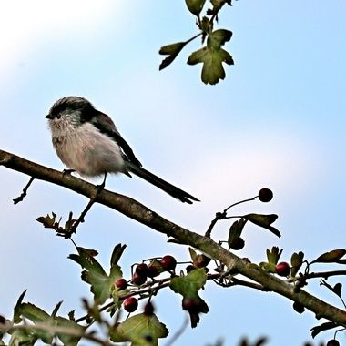 Long-Tailed Tit, resting in branches of a Devon country lane bush