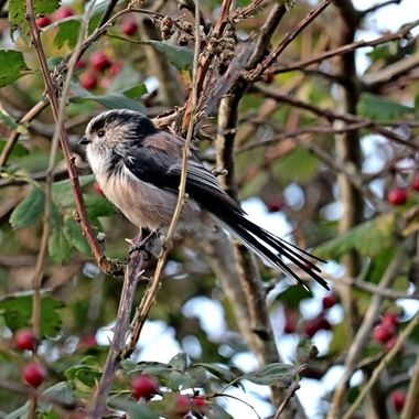 Long-Tailed tit flitting among the branches
