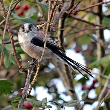 Long-tailed Tit in Hawthorn Tree