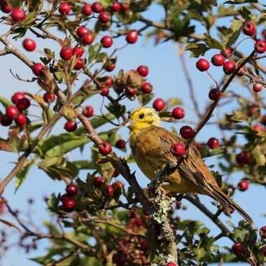 Yellowhammer bird in a Rowan, or Hawthorn Tree