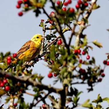 Yellowhammer among rowan berries on a hawthorn tree