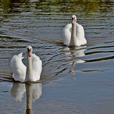 A pair of Mute Swans approaching me for food.