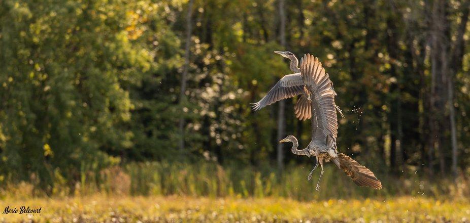 Herons de plaisance-1