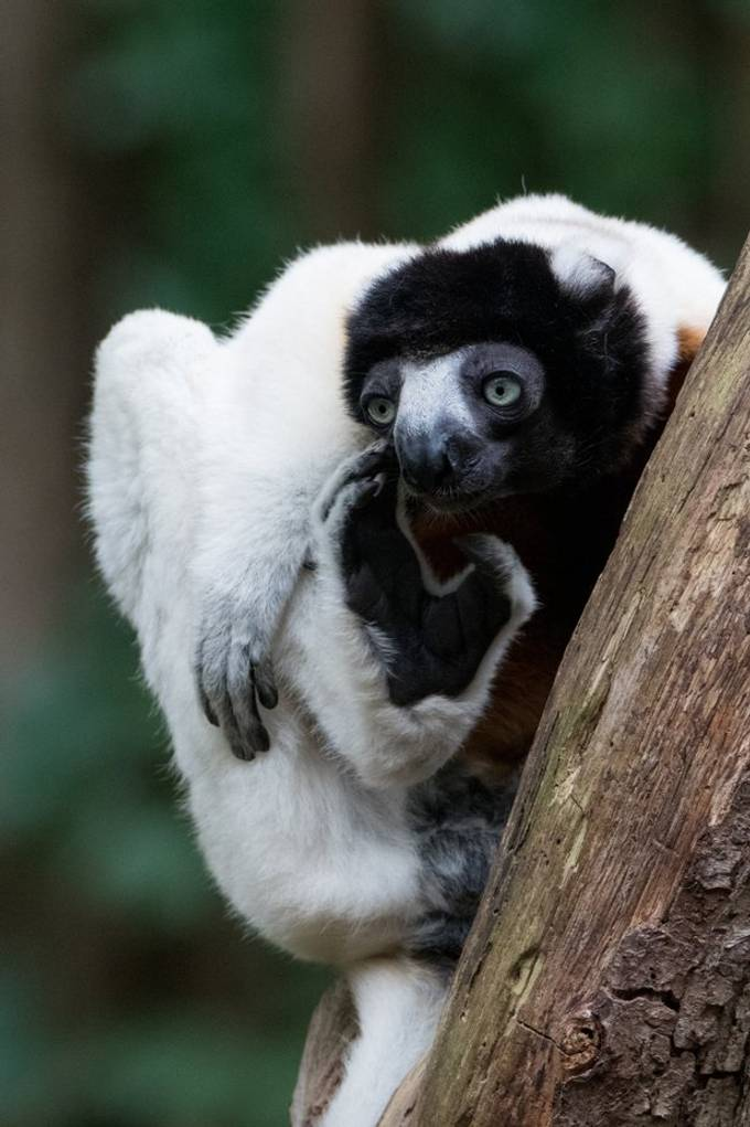 Crowned sifaka with an itch