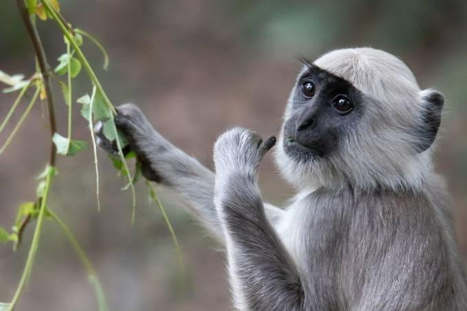 Young Gray langur