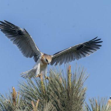 White-tailed Kite fledgling lift-off DSC00971