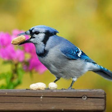 Nutty Jay