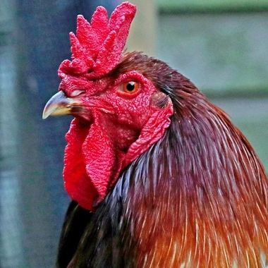 Rooster, or Cockerel, an English Game Cock, Portrait Format.