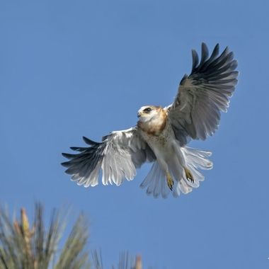 White-tailed Kite Fledgling DSC01066