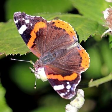 A Red Admiral Butterfly resting in the summer sun